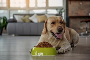 labrador in front of food bowl